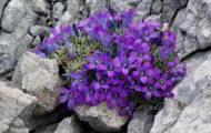 Bikovo-Fleur1